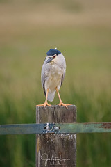 Martinete con mala cara. (Lagier01) Tags: aves birds doñana fauna martinete nature wildlife