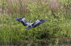 9Q6A2435 (2) (Alinbidford) Tags: alancurtis alinbidford brandonmarsh greyheron nature wildbirds wildlife