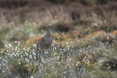 Curlew in the Cottongrass (Tim Melling) Tags: numenius arquata curlew peak district south yorkshire timmelling