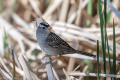 White-crowned Sparrow (gvall66) Tags: arizona az d500 iba nikon nikon200500 sedona sedonawetlandspreserve sparrow whitecrownedsparrow yavapaicounty