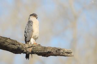 Cooper's hawk - Épervier de cooper - Accipiter cooperii