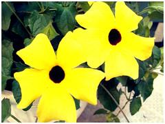 Balcon en folie (garneau.joel2 Thank you for 2,000 view) Tags: flower fleur fiori flora flores plante outdoor nature bloom couleur giardini