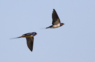 A87A8835 Swallows