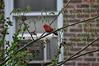 Northern Cardinal (David.Sankey) Tags: birds birding ornithology birdwatching queens ny nyc newyorkcity sunnyside longislandcity cardinal northerncardinal
