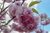 Flower Power (mmollame18) Tags: cherry nikon d5100 pink white leaves macromondays day