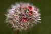 Blutrot (thomas druyen) Tags: elements löwenzahn pusteblume natur blume rot tropfen makro grün