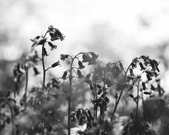 Bluebell Silhouettes (oandrews) Tags: bluebells canon canon70d canonuk flora flower hyacinthoidesnonscripta nature naturereserve northamptonshire northants outdoors plant plants shortwood shortwoodandsouthwickwood wildlifetrusts woodland woods southwick england unitedkingdom gb