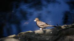 Blackbird by water's edge (PChamaeleoMH) Tags: brockwellpark blackbird