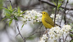 Yellow Warbler (Jeannine St-Amour Photography) Tags: bird migration warbler yellowwarbler nature wildlife