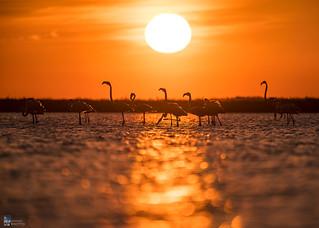 Pink Flamingos at sunrise