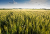 The Wheat is still ripening (bakosgabor57) Tags: landscape wheat sky cloud sunset grass field nikon d7200 tokina1116 yellow green fields