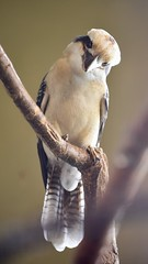 Laughing Kookaburra (R.A. Killmer) Tags: laughing kookaburra australian avian bird kingdom niagara falls ontario canada beauty nature fly loud unique feathers beak talons