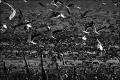 Migration (JBayPhotographie) Tags: flock shore beach nature black white monochrome hectic chaos