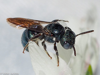 Small Carpenter Bee (Ceratina sp.)