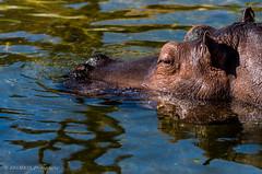 Hippopotamus (HRLM&TS Photography) Tags: nature naruur drenthe nederland netherlands hippopotamus hippo nijlpaard animalplanet animal beest dier
