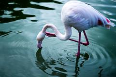 Flamingo (petia.balabanova(tnx for +3 million views)) Tags: bird flamingo fenicottero water reflection colors malta travel maltabirdspark nikond800 2470mm animal nature