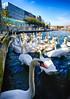Swans in Geneva, Switzerland (` Toshio ') Tags: toshio geneva switzerland swiss lakegeneva europe suisse geneve lacleman swan bird lake downtown water european fujixt2 xt2