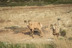 Pair (JGemplerPhotography) Tags: bighornsheep badlands sheep