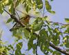 Blackburnian Warbler (J.B. Churchill) Tags: allegany blbw birds malcolmroad maryland places taxonomy warblers oldtown unitedstates us