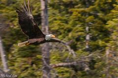 20180519_Eagle (cdcguard) Tags: nature birds recreation eagle fishing birdofprey bird wildlife echolake animals baldeagle raptor outdoors