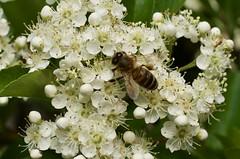 fullsizeoutput_cdda (Fan Majie 範瑪姐) Tags: mayflower tuinstadstaalwijk herenstraat leiden bee