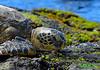 58 (R Dermo) Tags: water sea rocks tropical turtle outdoors island nikon ocean hawaii nature landscape shoreline wildlife green beach