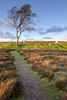 Beacon Hill Tree (John__Hull) Tags: beacon hill silver birch tree heather grasses dry stone wall path clouds sky sunlight landscape nikon d7200 charnwood forest park leicestershire uk england woodland trust sigma 1020mm light shadow
