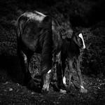 Cabalos salvaxes no Monte da Muralla thumbnail