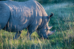 Morning Color (zenseas) Tags: whiterhinoceros morning wild workingholiday workingvacation early rhino whiterhino southafrica rhinoceros vacation africa holiday ceratotheriumsimum