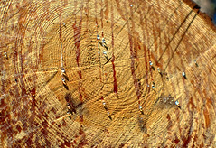 Tree rings and sap on a cut tree near Peasholm Park, Scarborough (Tony Worrall) Tags: britain english british gb capture buy stock sell sale outside outdoors caught photo shoot shot picture captured england regional region area northern uk update place location north visit county attraction open stream tour country welovethenorth sap tree park wood wooden cut nature natural rings drips slice cutdown peasholmpark peasholm