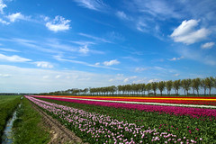 Landscape in the Netherlands, Beemster polder (Unesco world heritage) (Frans.Sellies) Tags: nederland netherlands img6156 tulips beemster westbeemster hobrederwegjisperweg
