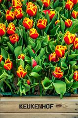 Tulips (Tony Shertila) Tags: cruise europe pig lisse zuidholland netherlands nld keukenhof tulip flower flora petal stamen box holland