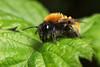 Tawny mining bee (Lord V) Tags: macro bug insect bee minerbee andrena