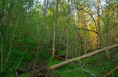Fallen log across the ravine (МирославСтаменов) Tags: russia zaseki kaluzhskiye ravine log forest slope greenery