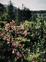 Sormiou Floral mai 2018 -  06 (akunamatata) Tags: sormiou floral balade mai 2018 parc des calanques park provence fleurs flowers sentier sciatique