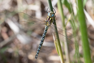 Hairy dragonfly m