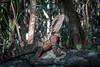 Eastern water dragon (Carey Knox) Tags: australia reptile wildlife australianwildlife