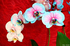 flowers (Alex Chirila) Tags: canon eos m10 1545 mm sunny day keukenhof flower colors colorfull park macro