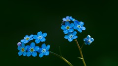 Low Key Flowers (YᗩSᗰIᘉᗴ HᗴᘉS +15 000 000 thx) Tags: lowkey macro flower flora fleur blue hensyasmine namur belgium europa aaa namuroise look photo friends be wow yasminehens interest intersting eu fr greatphotographers lanamuroise tellmeastory flickering nature