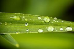 DSC_3689 (Stacey Conrad) Tags: d7500 macro nikon pa summerfield willowstreet water waterdrop rain leaf