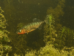"""Male Threespine Stickleback img_1279 • <a style=""""font-size:0.8em;"""" href=""""http://www.flickr.com/photos/142691167@N05/27267598797/"""" target=""""_blank"""">View on Flickr</a>"""