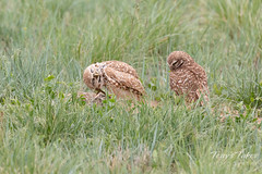 Male Burrowing Owl has an itch
