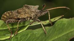 Dock bug -Squashbug (Coreus marginatus) (stevenbailey7) Tags: coreidae inexplore explore insects bugs