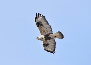 Rough-legged Hawk2 2-20-18