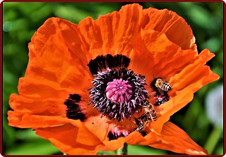 Red poppy & bees