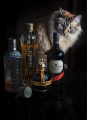 Because, No Reason (Sally Harmon Photography) Tags: red cat chambord raspberry liqueor because no reason tincup st germaine cotswolds gold stance black white blue eyes
