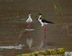 Black Neck Stilt Pair (ftherit) Tags: bombay hook nwr delaware usa nature black neck stilt birds wading canon 1dx mark ii 600mm
