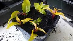 Fuchsia 'Genii' cuttings just taken on balcony 21st May 2018 (D@viD_2.011) Tags: fuchsia genii cuttings just taken balcony 21st may 2018