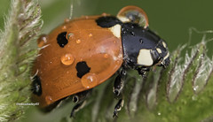 Ladybird (Coccinellidae) (stevenbailey7) Tags: coccinellidae ladybird ladybug beetle insects nature orange fauna garden nikon new walk spring tamron countryside detail insect beetles raindrops closeup photography flickr springtime wildlife