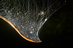 One of Ten Spiderlings, Singapore (singaporebugtracker) Tags: singaporebugtracker spiderlings babyspider web silk network constellation droplets dew raindrops silver harp macritchieforest spiderweb teardrop webbing lacework spider